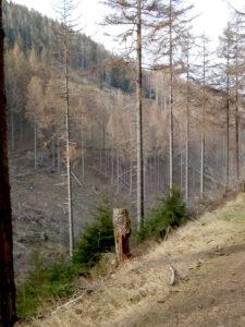 Tote Fichten im Rammelsberg
